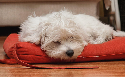 perro bichón maltés precio