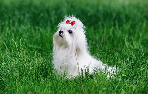 raza de perro blanca bichón maltés