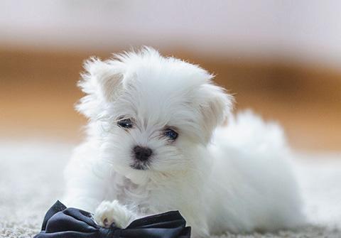 educar cachorro bichón maltés