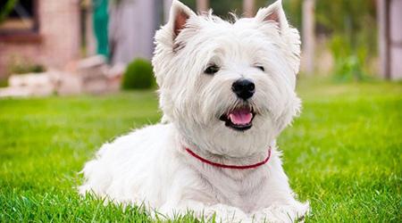 Terrier perro blanco