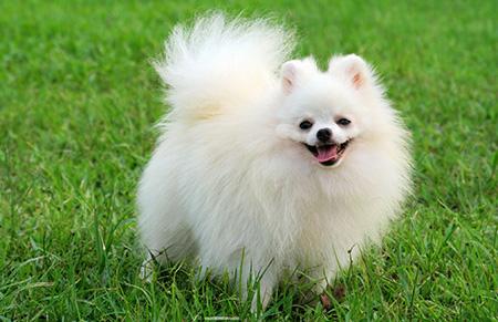 pomerania perro blanco pequeño