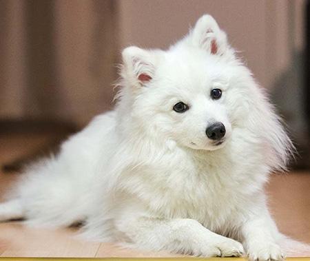 razas de perros blancos pequeños
